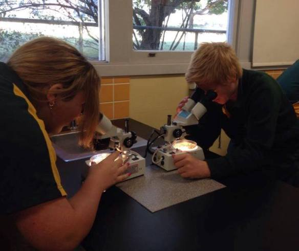 Students examining mosquitoes under the microscope in a lesson with Dr Cameron Webb.
